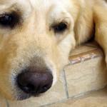 Парагрипп у собак