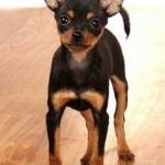 Тойтерьер — игрушечная собака