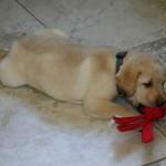 Как приучить щенка к аккуратности