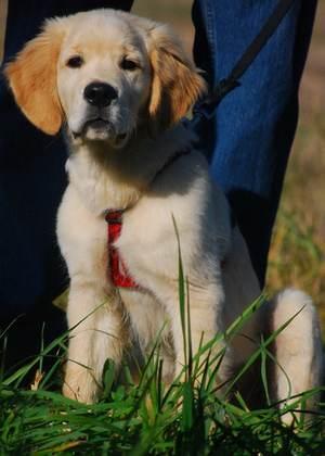 щенок голден ретривера