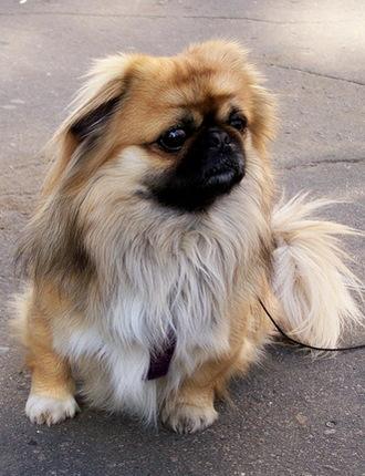 Пекинес - собака китайских императоров