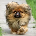 Пекинес — собака китайских императоров