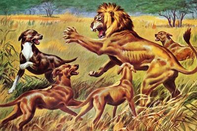 История породы родезийский риджбек