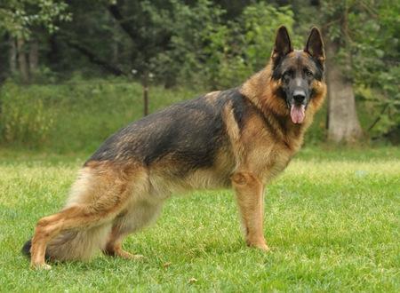 Собаки для охраны дома, немецкая овчарка