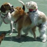 Случайные вязки у собак, какие могут быть последствия