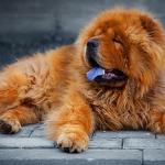 Вязка породистых собак