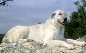 IrishWolfhound_big2