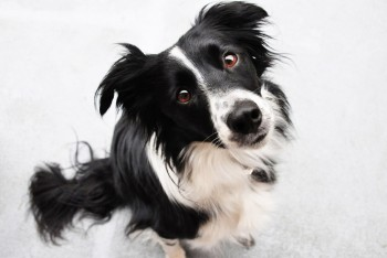 b_0_650_00___images_dogs_border-collie-1