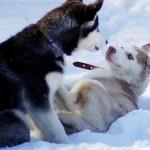Первая вязка собак
