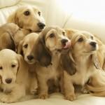 Искусственная вязка собак разных пород