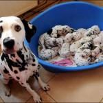 Календарь беременности собак по дням