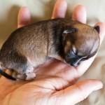 Прерывание беременности у собак