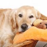 Признаки беременности у собак