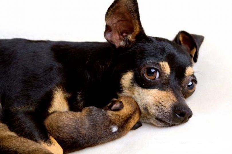 Роды у собак мелких пород