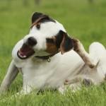 У собаки чешутся уши…