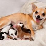 Роды у собак маленьких пород