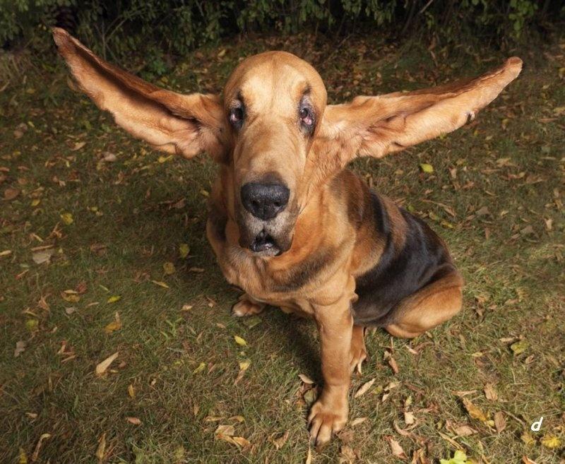 Неприятный запах из ушей у собаки