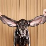 Что делать, если у собаки опухли уши
