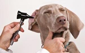капли в уши собаке