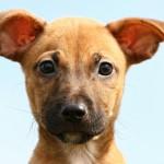 У собаки плохо пахнет из ушей