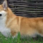 Беременность мелких собак