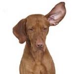 Что делать, если собака расчесала ухо до крови
