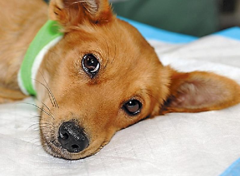 Что делать, если собаку укусил энцефалитный клещ