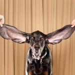 Как поставить уши собаке