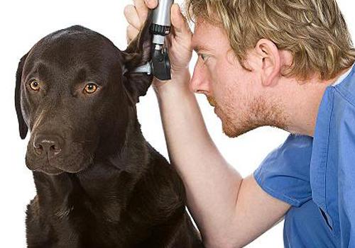 лечение гематомы уха у собаки