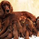 Первые роды у собаки