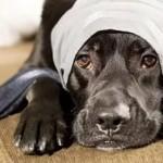 Отит уха у собаки