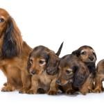 Проблемы у собаки после родов