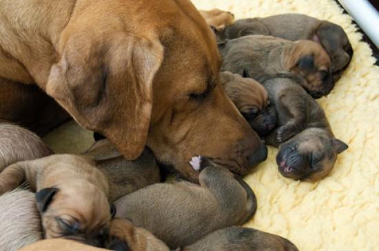 первые роды у собак