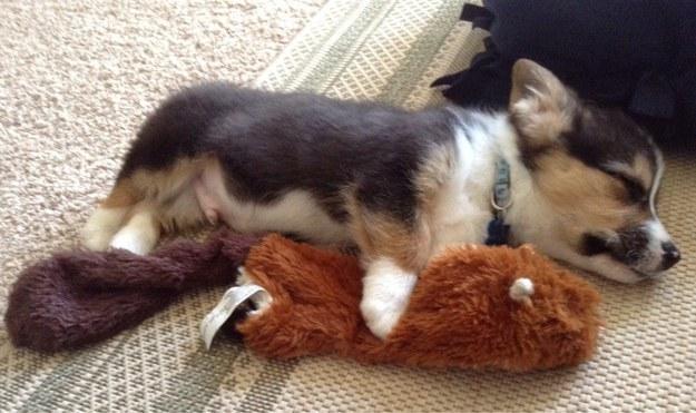 уставший-щенок-спит-19